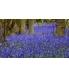 5. Bluebell 2.jpg